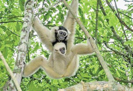 Second Pair of Endangered Gibbons Released at Angkor Second Pair of Endangered Gibbons Released at Angkor Gibbons Released Wildlife Alliance