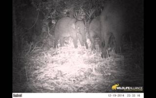 camera trap captures rare footage of elephant herd in the southern cardamom mountains Camera Trap Captures Rare Footage of Elephant Herd in the Southern Cardamom Mountains maxresdefault 2 320x202