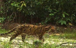 Rare Clouded Leopard Caught on Camera! Rare Clouded Leopard Caught on Camera! Rare Clouded Leopard 320x202
