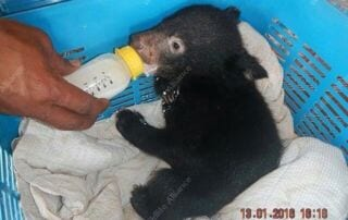 Bear Cub Rescued by Rangers Bear Cub Rescued by Rangers Bear Cub Rescued 320x202