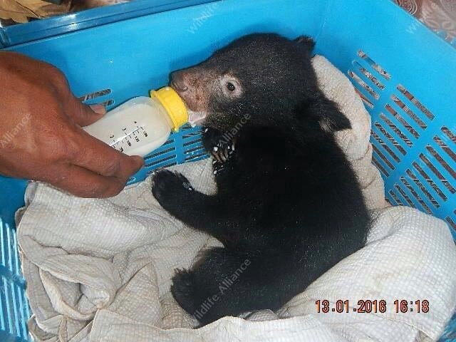 Bear Cub Rescued by Rangers Bear Cub Rescued