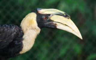 Great Hornbill New Animals to Sponsor! Great Hornbill 320x202