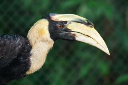 Great Hornbill New Animals to Sponsor! Great Hornbill