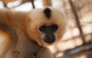 Help Construct a Primate Conservation Center at PTWRC Yellow Cheeked Gibbon 320x202