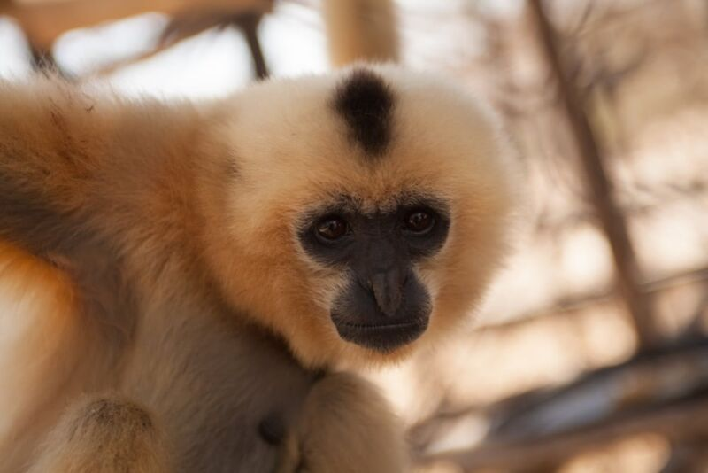 Help Construct a Primate Conservation Center at PTWRC Help Construct a Primate Conservation Center at PTWRC Yellow Cheeked Gibbon 800x534