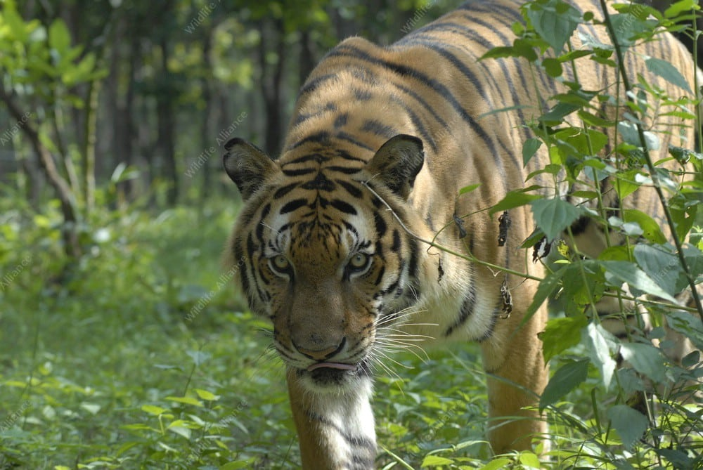 World's First Transnational Tiger Reintroduction Plan Rescued tiger cared for by Wildlife Alliance