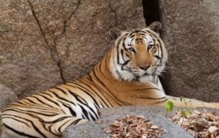 Tigers to be Reintroduced to Cambodia Tigers Reintroduced Cambodia 320x202