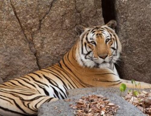 Tigers to be Reintroduced to Cambodia