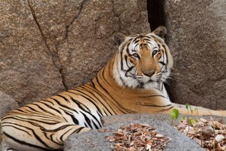Tigers to be Reintroduced to Cambodia Tigers Reintroduced Cambodia