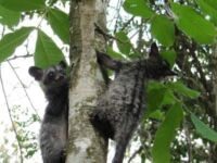 Only 20 Days Left to Save Civets from the Cruel Coffee Trade Save Civets Cambodia 200x150