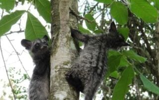 Only 20 Days Left to Save Civets from the Cruel Coffee Trade Only 20 Days Left to Save Civets from the Cruel Coffee Trade Save Civets Cambodia 320x202