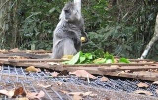 Second Baby Gibbon Born at Angkor! Baby Gibbon Cambodia 320x202