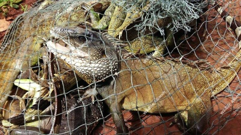 Rangers saved and released 23 water monitors Cambodia water monitors 800x450