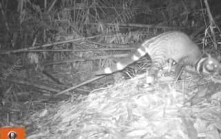The scent of a Civet Civet Camera Trap 320x202