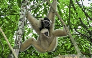 Baby Gibbon born at Angkor temple Baby Gibbon born at Angkor temple Gibbon Cambodia 320x202