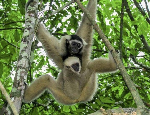 Baby Gibbon born at Angkor temple