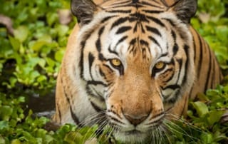 International Tiger Day – July 29, 2016 International Tiger Day Cambodia 320x202
