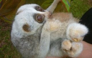 rangers rescued slow lorises from smugglers Rangers Rescued Slow Lorises from Smugglers Slow Lorises 320x202