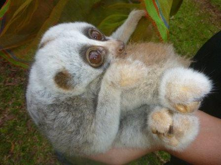 rangers rescued slow lorises from smugglers Rangers Rescued Slow Lorises from Smugglers Slow Lorises