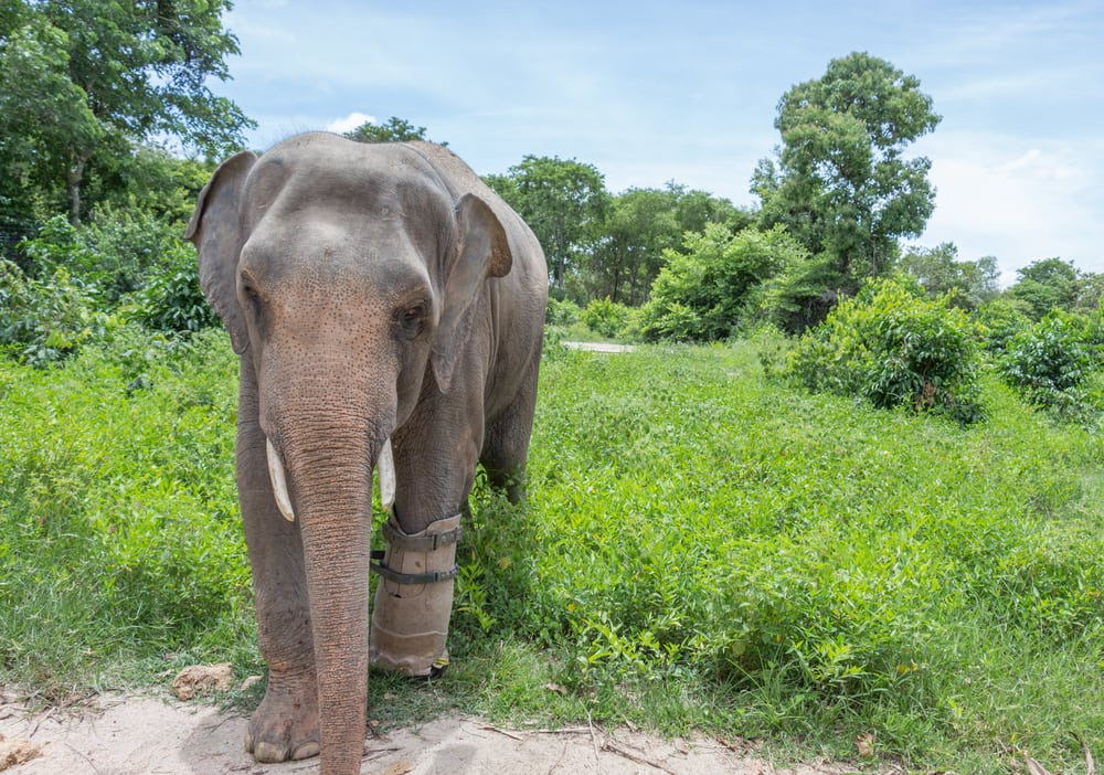 world elephant day - meet the rescued elephants at phnom tamao! World Elephant Day – Meet the Rescued Elephants at Phnom Tamao! 59a81fcd4a43e img