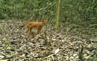 Dhole, largest carnivore remaining in the Cardamom Rainforest Dhole, largest carnivore remaining in the Cardamom Rainforest Dhole largest carnivore remaining 320x202