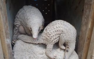 Successful Release of Critically Endangered Pangolin! Successful Release of Critically Endangered Pangolin! Endangered Pangolin 320x202