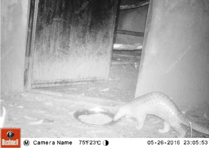 Successful Release of Critically Endangered Pangolin! Successful Release of Critically Endangered Pangolin! Endangered Pangolin Camera Trap
