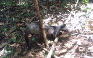 forest rangers free civet from poacher's snare Forest Rangers Free Civet from Poacher's Snare Forest Rangers Free Civet 320x202