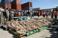 Cambodia Busts Major Ivory Smuggling From Mozambique to China Cambodia Busts Major Ivory Smuggling 200x133