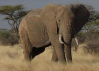 Did you know that one African elephant is killed every 15 minutes? African elephant 200x143