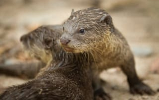 prepare our otters for return to the wild—help build a waterfall! Prepare Our Otters for Return to the Wild — Help Build a Waterfall! Otters Cambodia 320x202