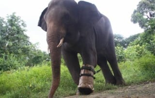 disabled male elephant Chhouk, the Elephant, Receives a New Prosthetic Foot Elephant Prosthetic Foot 320x202