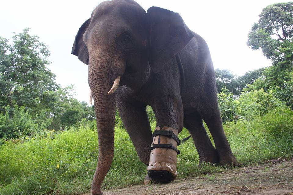 chhouk the elephant receives a new prosthetic foot