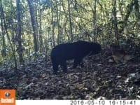Exciting Results from a Camera Trap Survey! Camera Trap Survey sun bear 200x150