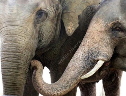 Meet Wildlife Alliance Animal Ambassadors – Chhouk and Lucky