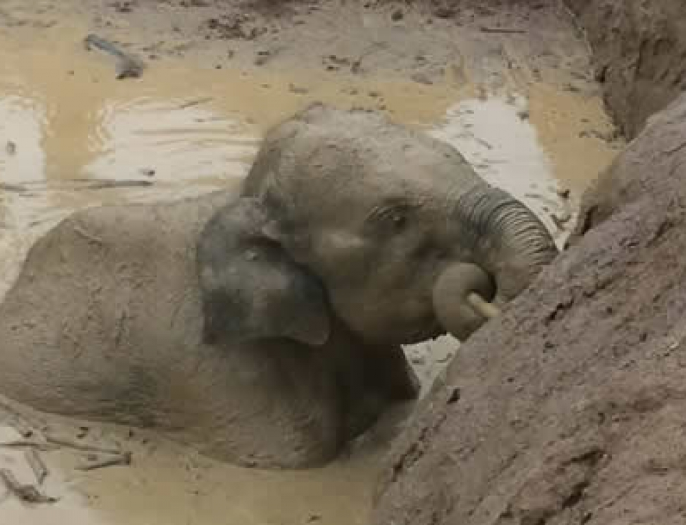 11 wild elephants were stuck in deep mud hole for four days in Keo Siema Wildlife Sanctuary