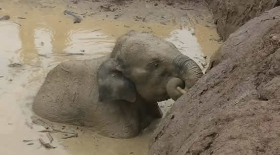 11 wild elephants were stuck in deep mud hole for four days in Keo Siema Wildlife Sanctuary 11 wild elephants were stuck in deep mud hole for four days in Keo Siema Wildlife Sanctuary elep