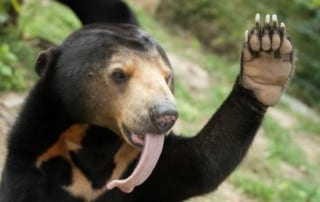 Curious sun bear inspects camera trap Curious sun bear inspects camera trap sun bear Cambodia 320x202