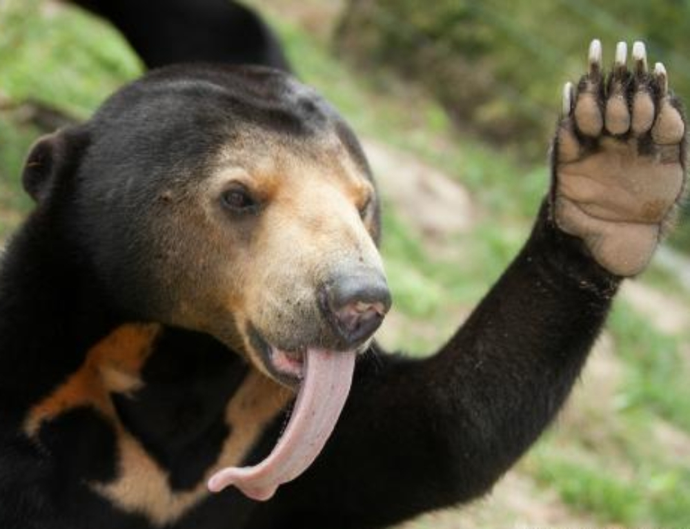 Curious sun bear inspects camera trap
