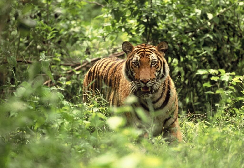 Save Tigers 2006 11 15 CRW tigerstanding 1024x705