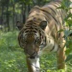 Save Tigers 2010 08 13 CRW tigerprowl 150x150
