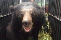 A rescued Asian black bear gets a second chance Asian black bear Cambodia 200x133
