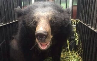 A rescued Asian black bear gets a second chance A rescued Asian black bear gets a second chance Asian black bear Cambodia 320x202