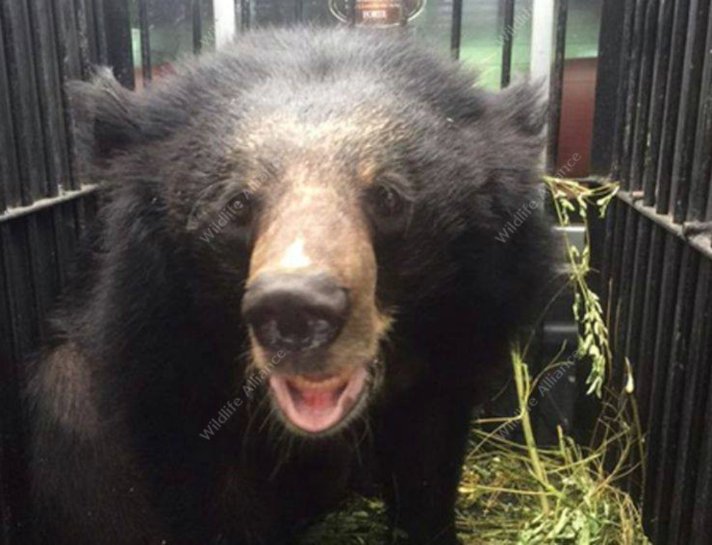 A rescued Asian black bear gets a second chance