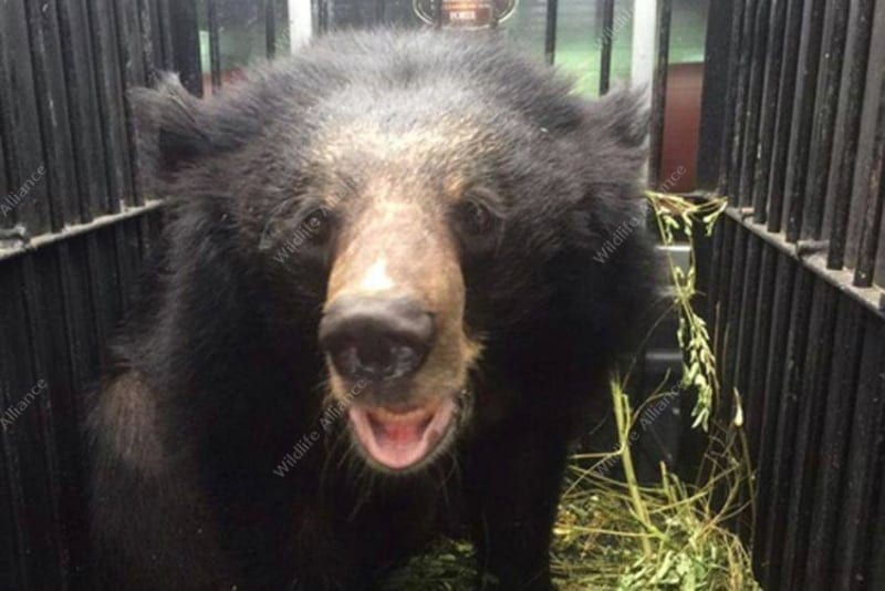 A rescued Asian black bear gets a second chance A rescued Asian black bear gets a second chance Asian black bear Cambodia 800x534