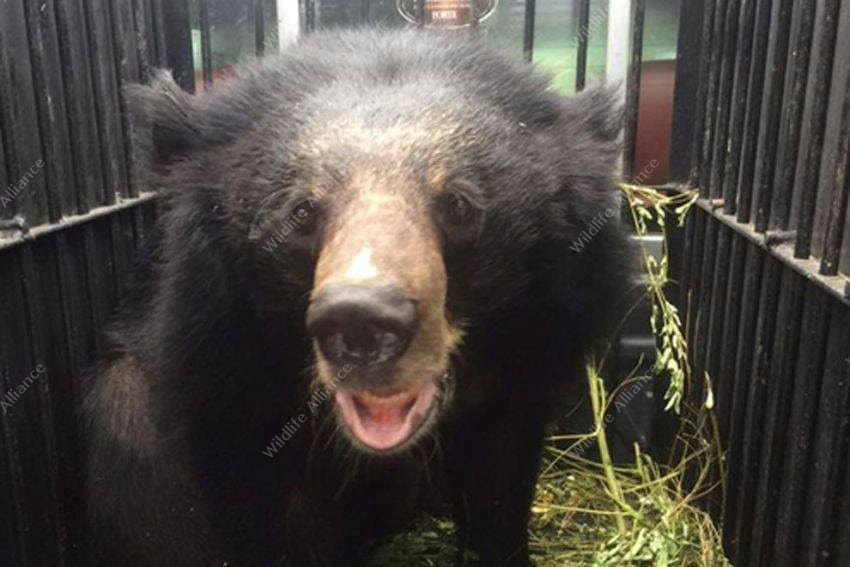 A rescued Asian black bear gets a second chance A rescued Asian black bear gets a second chance Asian black bear Cambodia