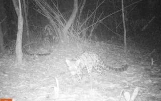 Dr. Tom Gray Leopard Cat Wildlife Alliance camera trap 320x202