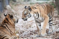 International Tiger Day – July 29th Save Cambodia Tigers 200x133