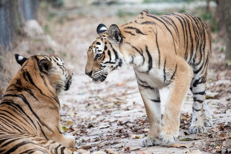 International Tiger Day – July 29th Save Cambodia Tigers 800x534