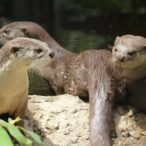 sponsor an animal Sponsor an Animal Smooth coated OTTER Family1